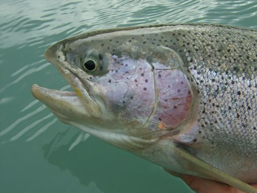 Kenai River Rainbow Beauty