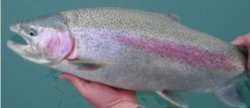 Catch & Release Rainbow Trout fishing on the Kenai River