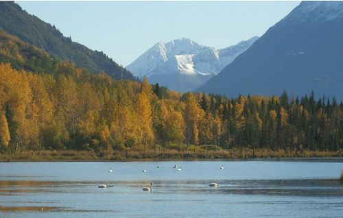 Trumpeter Swans in Alaska Fall