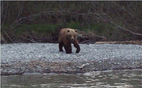 Kenai River Brown Bear