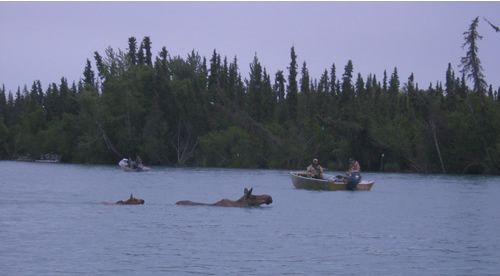 Moose swimming by Dave & Jim on the Kenai River