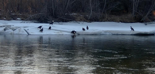 Eagles looking for dinner on the Kenai River