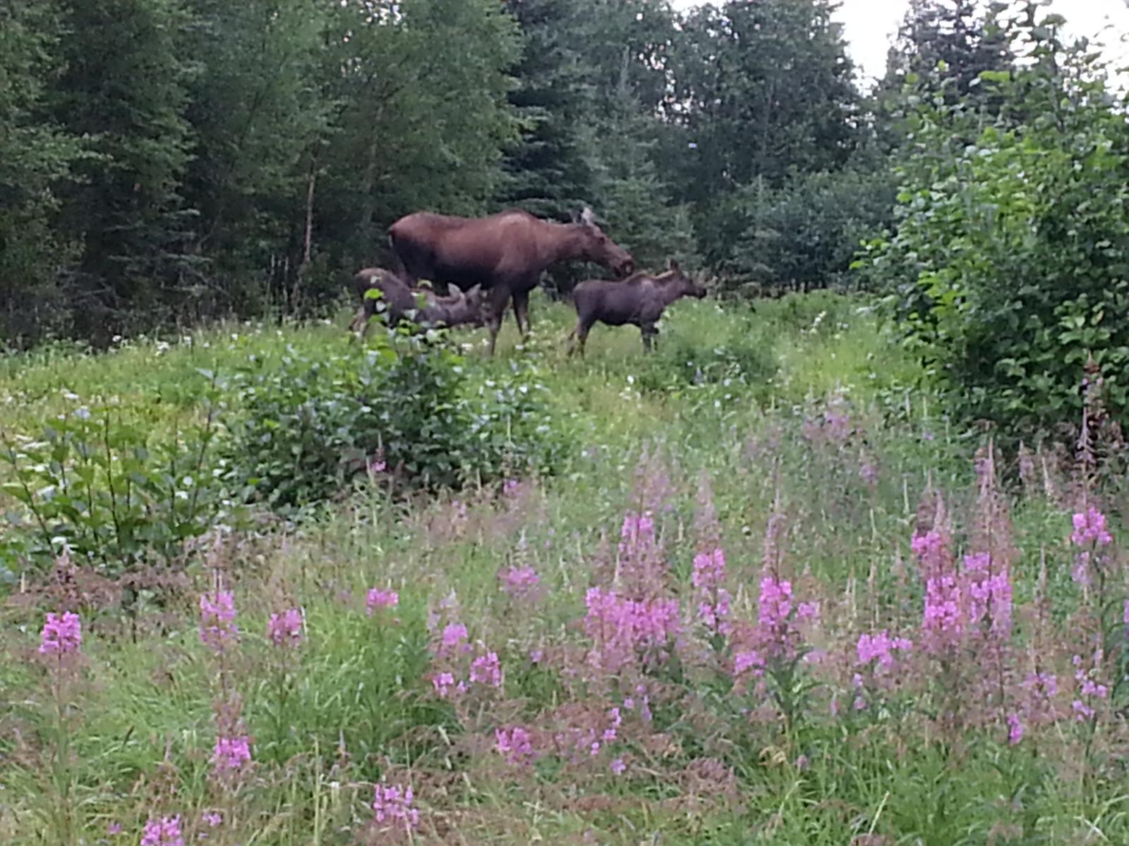 Mama Moose & Calves in a field of Fireweed, August 2010