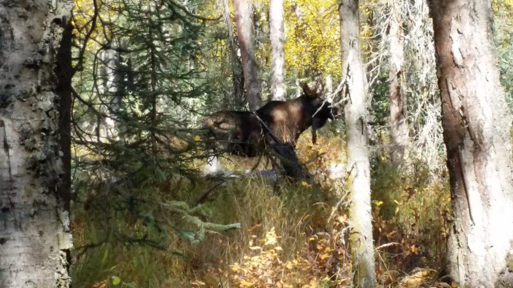 Small Bull Moose
