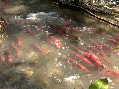 Alaska salmon escapement counts by Alaska Department of Fish & Game