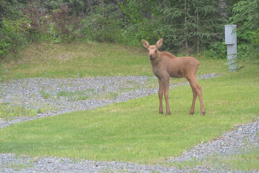 Newborn Calf Moose 2016