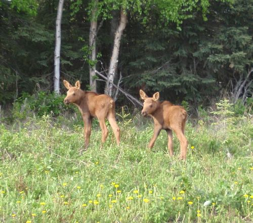 Fresh Moose Calf Twins